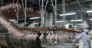 Ain't America Exceptional: Poultry Workers Forced to Wear Diapers Due To No bathroom Breaks